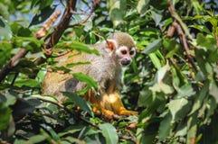 Common squirrel monkey Stock Photography