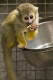 Common Squirrel Monkey eating in captivity. A squirrel monkey eating fruit.  The monkey is in a captivity Stock Photo