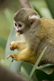 Common Squirrel Monkey eating. A squirrel monkey eating fruit Royalty Free Stock Photography