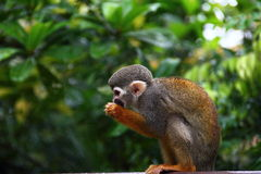 Common Squirrel Monkey eating fruits Royalty Free Stock Photo