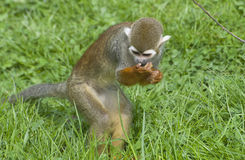 Common Squirrel Monkey Stock Image