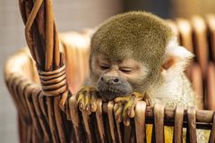 Common squirrel monkey leans out of a basket with eyes squized royalty free stock photography