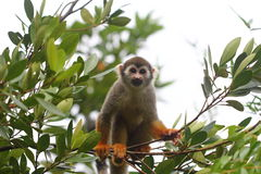 Common Squirrel Monkey looking at camera Royalty Free Stock Photography