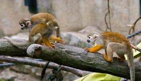 Common Squirrel Monkey, Saimiri sciureus Royalty Free Stock Images