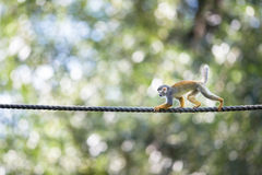Common Squirrel Monkey Stock Images