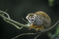 Common squirrel monkey, Saimiri sciureus Stock Image