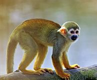 Common squirrel monkey (Saimiri sciureus) Stock Photo