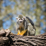 Common squirrel monkey (Saimiri sciureus) Royalty Free Stock Photo