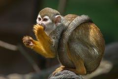 Common squirrel monkey (Saimiri sciureus). Stock Photos