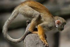 Common squirrel monkey (Saimiri sciureus). Royalty Free Stock Photos