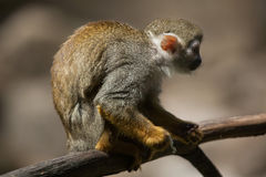 Common squirrel monkey Saimiri sciureus. Royalty Free Stock Images