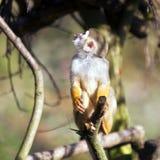 Common squirrel monkey Stock Image