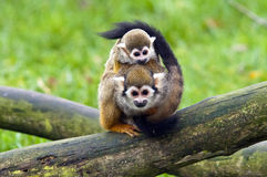 Common squirrel monkey Royalty Free Stock Image