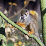 Common squirrel monkey Royalty Free Stock Photo