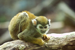 Common squirrel monkey sitting on a branch. In a zoo Stock Images