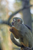 Common squirrel monkey. Royalty Free Stock Photos
