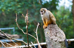 Common Squirrel Monkey Sitting on Stone Royalty Free Stock Photos