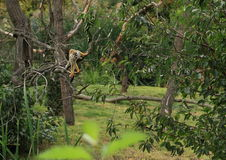 Common squirrel monkey on tree Stock Photos