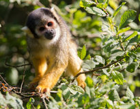 Common squirrel monkey in a tree Stock Photo