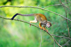 Common squirrel monkey walking on a tree branch Stock Image