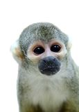 Common squirrel monkey on white Stock Photos
