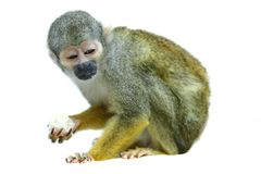 Common squirrel monkey on white Stock Images
