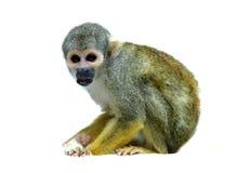 Common squirrel monkey on white. Common squirrel monkey, Saimiri sciureus, on white background Stock Image