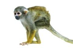 Common squirrel monkey on white. Common squirrel monkey, Saimiri sciureus, on white background Royalty Free Stock Photography