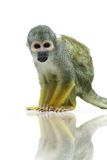 Common squirrel monkey on white Royalty Free Stock Photography