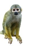 Common squirrel monkey on white Stock Image