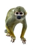 Common squirrel monkey on white Royalty Free Stock Images