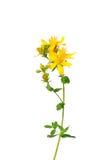 Common St Johns wort (Hypericum perforatum) Royalty Free Stock Photo
