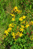 Common St Johns wort (Hypericum perforatum) Royalty Free Stock Photography