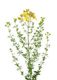 Common St. Johnswort Stock Image