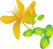 Common St. Johnswort flower ( tutsan ) Stock Image