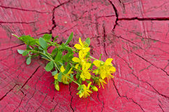 Common St. Johnswort flower ( tutsan ) on red wooden background Stock Image