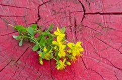 Common St. Johnswort flower ( tutsan ) on red wooden background Stock Image