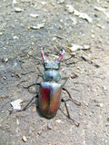Common stag beetle (Lucanus cervus). The common stag beetle (Lucanus cervus Stock Image