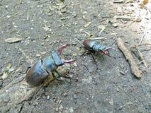 Common stag beetle (Lucanus cervus) Stock Images