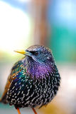 Common Starling. Portrait Common Starling (Sturnus vulgaris Royalty Free Stock Photography