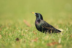 Common starling Stock Photography