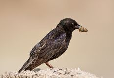 Common starling with big insect in beak. Sits on the ground isolated on beige blurred background Stock Photography