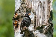 Starling feeding its hungry babies. Common starling feeding its babies stock photos