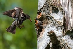 Starling feeding its hungry babies. Common starling feeding its babies stock image