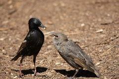Common Starling Feeding Juvenile Stock Images