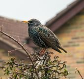 The Common Starling, Gloucestershire, The Cotswolds royalty free stock photo