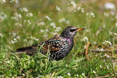 Common Starling  in green grass. Sturnus vulgaris Royalty Free Stock Photos