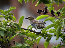 Common starling in a hackberry tree Royalty Free Stock Photo