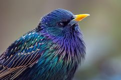 Common Starling head shot portrait with very bright colours stock image