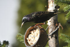 Common starling. Looking for food Royalty Free Stock Photography
